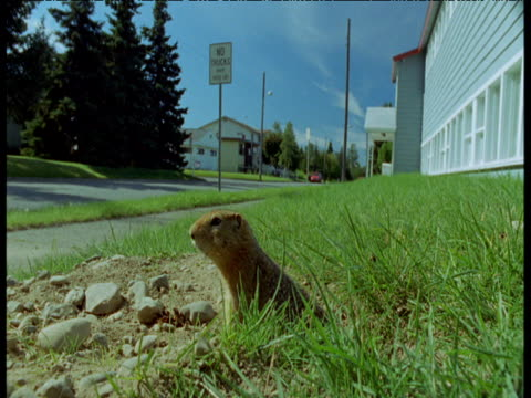 Ground squirrel leaves burrow and looks around, Anchorage, Alaska