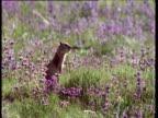 Ground Squirrel stands up then screams, Montana