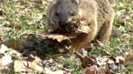 Groundhog collecting leaves
