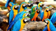 Gruppe Ara Papageien