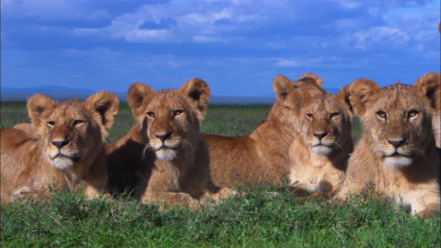Group of 5 African lion cubs very close to camera intently watch action out of frame