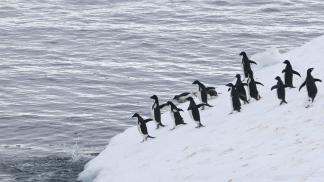 Group of Adelie Penguins running and jumping off Iceberg