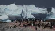 group of adelie penguins (Pygoscelis adeliae) with ice bergs in background in beautiful light, Antarctica