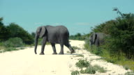 Group of African elephanst crossing road