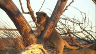Group of African lion cubs playfight amongst dead trees and skulls