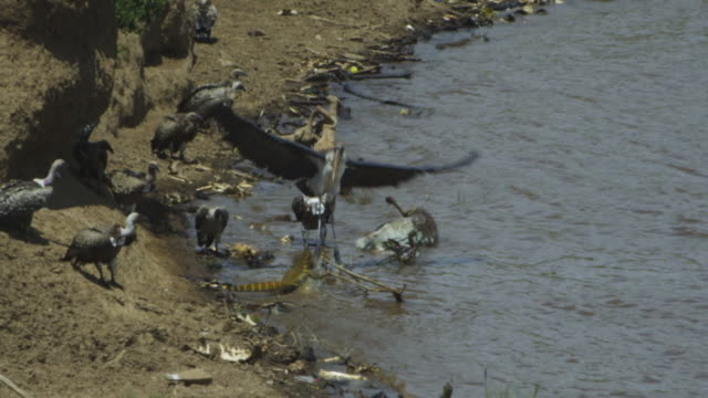SLOMO group of African vultures and Marabou stork on Wildebeest carcase in river as Nile Monitor lizard approaches and attacks