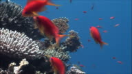 MS Group of Anthias (Shoaling Anthias) over corals in Red Sea / Sharm-el-Sheikh, Egypt