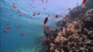 WS Group of Anthias (Shoaling Anthias) over corals in Red Sea / Sharm-el-Sheikh, Egypt