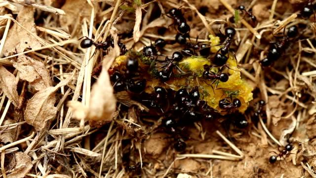 Gruppe von Ameisen mit Trockenobst