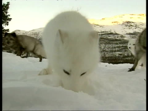 CU group of Arctic Foxes, Vulpes lagopus, some white some dark, digging and foraging in snow, Arctic Circle