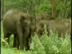 MS group of Asian Elephant, Elephas maximus, in forest, Western Ghats, India