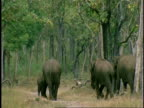 WA group of Asian Elephant, Elephas maximus, walking through forest away from camera, Western Ghats, India