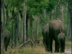 MS group of Asian Elephant, Elephas maximus, walking through forest away from camera, Western Ghats, India