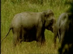 MS group of Asian Elephant, Elephas maximus walking through long grass, Western Ghats, India