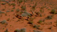 AERIAL TS Group of Australian feral camels crossing Simpson Desert, Northern Territory, Australia