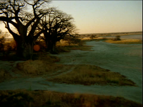 Group of baobab trees on edge of salt pans and grass plains.