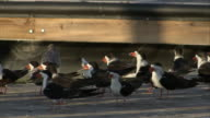 MS Group of black and white birds on river's edge / Florida, USA