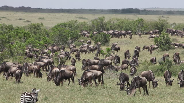 WS Group of blue wildebeest herd standing and eating at Savanna during Migration / National Park, Africa, Kenya