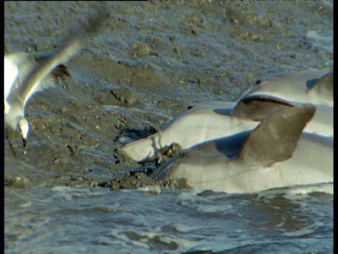 Group of bottle nosed dolphins beach themselves in order to catch fish on shore, South Carolina