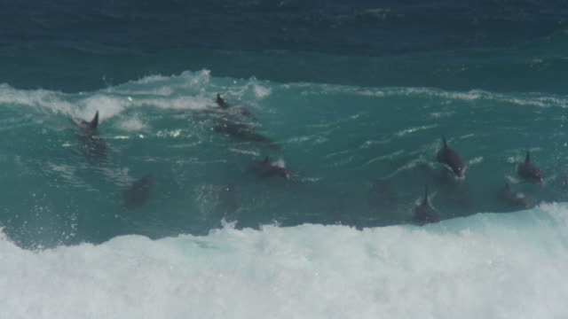 Group of Bottlenosed dolphins riding in surf wave and visible underwater