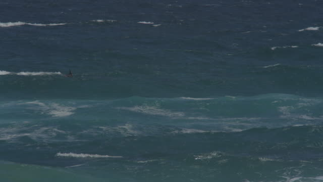 Group of Bottlenosed dolphins riding in surf wave