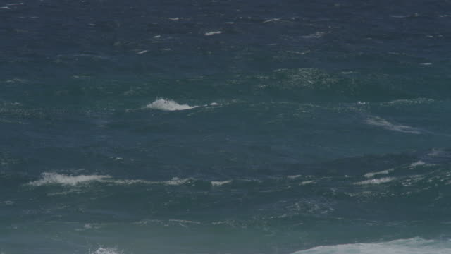 Group of Bottlenosed dolphins riding in surf wave with one surfing along the wave visible underwater