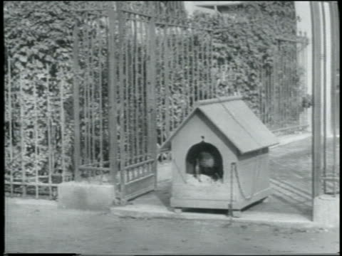 B/W 1907 group of bumbling policemen chasing small dog into doghouse / dog jumping at policeman