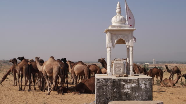 A group of camels at the Pushkar cattle fair with a tiny tradition Rajasthani Chhatri or pillared pavilion with a Indian dome