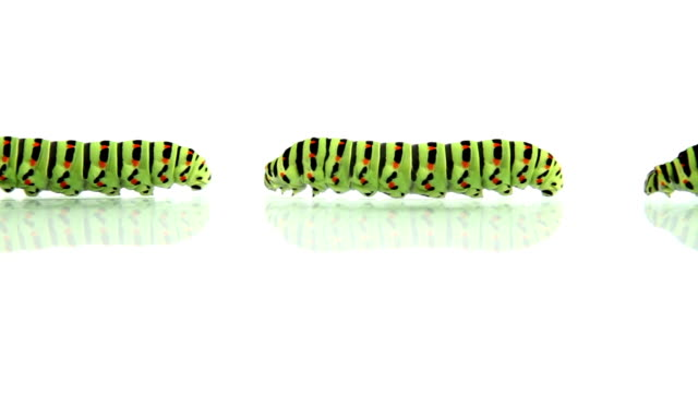 Group of caterpillars crawling, loopable