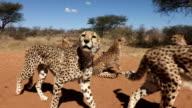 Group of cheetah wating to be fed at animal orphanage