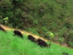 WS, PAN, Group of chimps (Pan troglodytes) climbing up gassy hill, Gombe Stream National Park, Tanzania