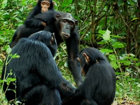 MS, Group of chimps (Pan troglodytes) in forest, Gombe Stream National Park, Tanzania