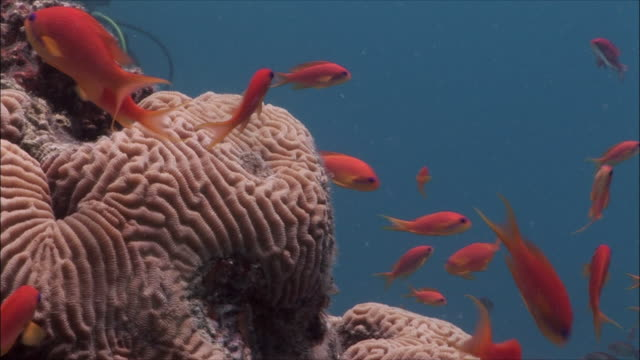CU Group of Coral goldfish (Pseudanthias squamipinnis) over brain coral in Red Sea / Sharm-el-Sheikh, Egypt