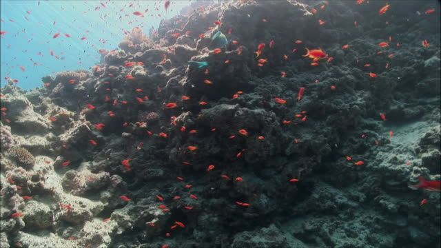 MS Group of Coral goldfish (Pseudanthias squamipinnis) over coral in Red Sea / Sharm-el-Sheikh, Egypt