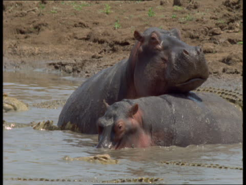 A group of crocodiles lurk by two hippos to get to a hippo carcass.