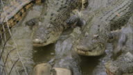 MS ZO Group of crocodiles reaching for bait / Australia
