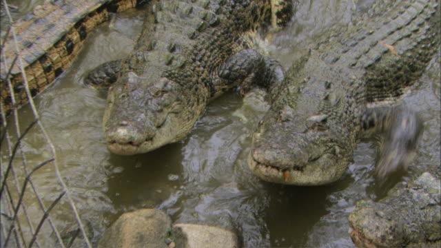 MS ZO Group of crocodiles reaching for bait / Australia