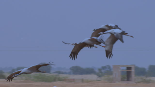 SLO MO group of Demoiselle cranes flying and gliding over river bank PAN left