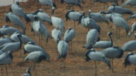 HA group of Demoiselle cranes standing by river and preening