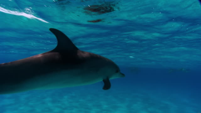 MS POV TS Group of dolphins swimming underwater  AUDIO / Florida, United States