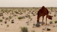 Group of dromedaries in the desert near Douz / Tunisia