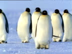 Group of Emperor Penguins waddling over ice-sheet towards camera, one penguin toboggans on its belly in background, Antarctica
