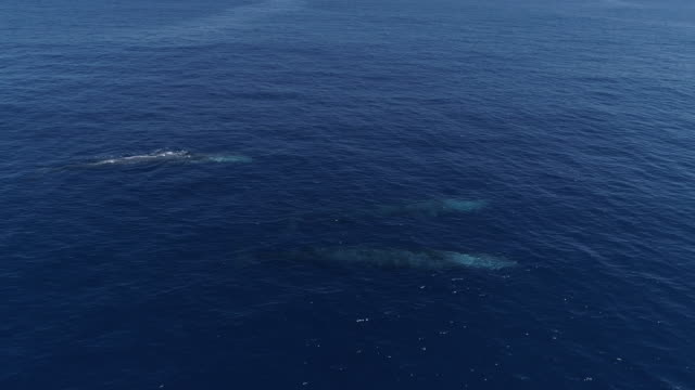 Group of fin whales swimming in blue ocean, approach