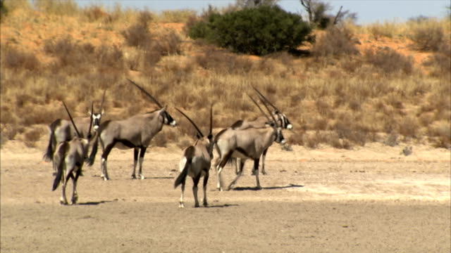 A group of Gemsbok standing/ Entabeni Private Game Reserve/ South Africa