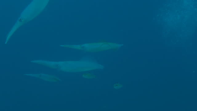 Group of giant Bigfin squid swimming in the reef