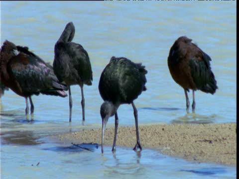 Group of glossy ibis preen and forage at edge of lake, Diamantina, Queensland, Australia