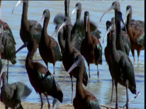 Group of glossy ibis wade in shallows of lake, Diamantina, Queensland, Australia
