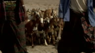 Group of goats led by men at camel fair