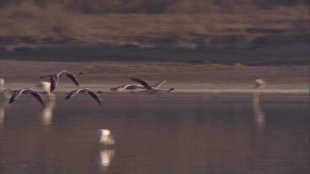 Group of greater flamingos fly over lake. Available in HD.