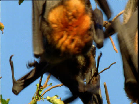 Group of grey headed fruit bats tussle in roost, Melbourne